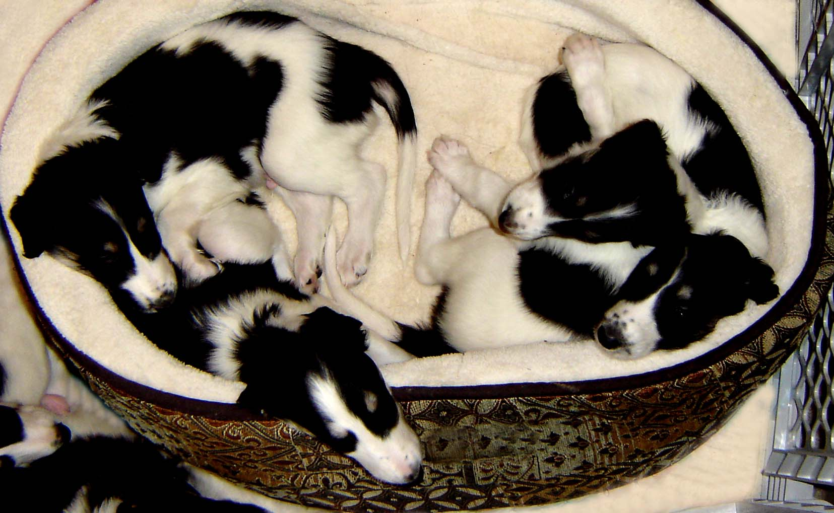 Borzoi puppies snuggled in bed