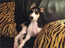 Zazia as a puppy