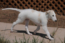 Gracie on the move as a puppy