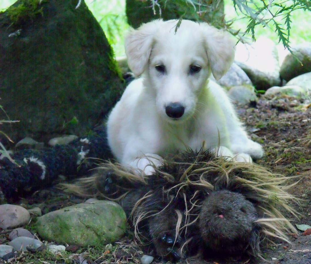 Borzoi puppy Quinn with his toy
