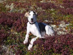 Czarina in the fields of Alaska