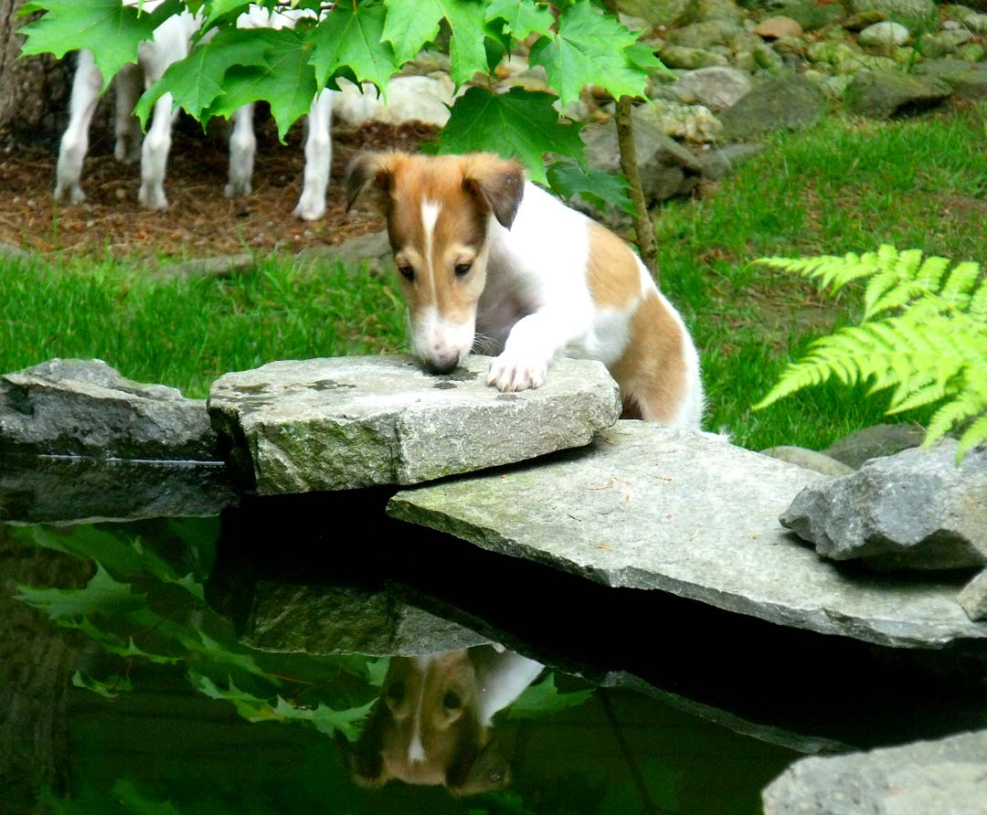 Borzoi puppy Red looking into pond