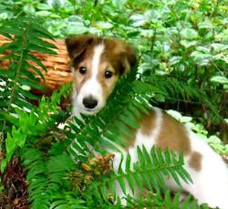 Deja Vu Puppy - Beau