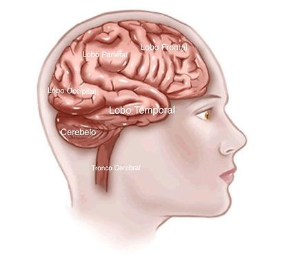 anatomia cerebral