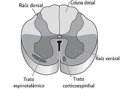 medula.JPEG