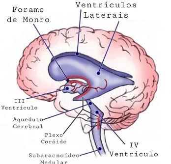 ventriculo.JPEG