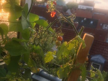 Letzte Abendsonne für die Tomaten