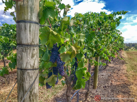 Punt Road Winery