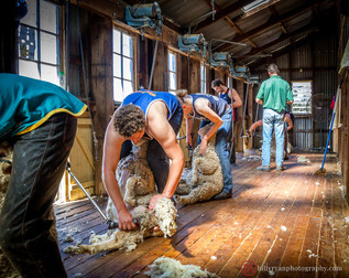 lifestyle-sheep-shearers.jpg