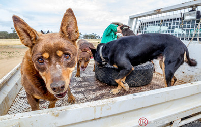 sheep-dogs-outback-editorial.jpg