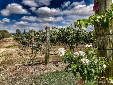 Iron Gate Vineyard