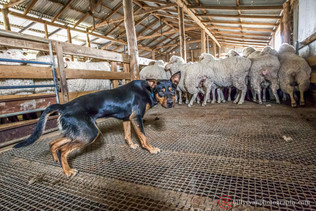 lifestyle-sheep-dog-farm.jpg