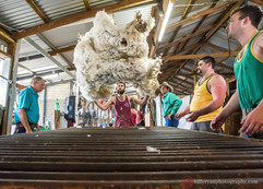 sheep-shearers-outback-australia-editori