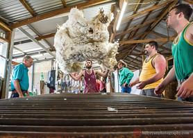 sheep-shearers-outback-australia-editori