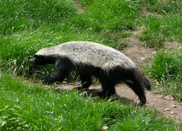 The Honey Badger Attunement