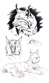 AnimalResearch_Lynx_Eurasian2.png