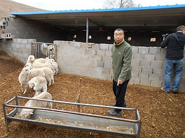 Improvements in sheep farming