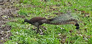 Lyrebird grass edge.jpg