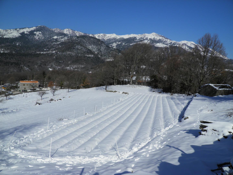 La neige s'invite pendant la récolte