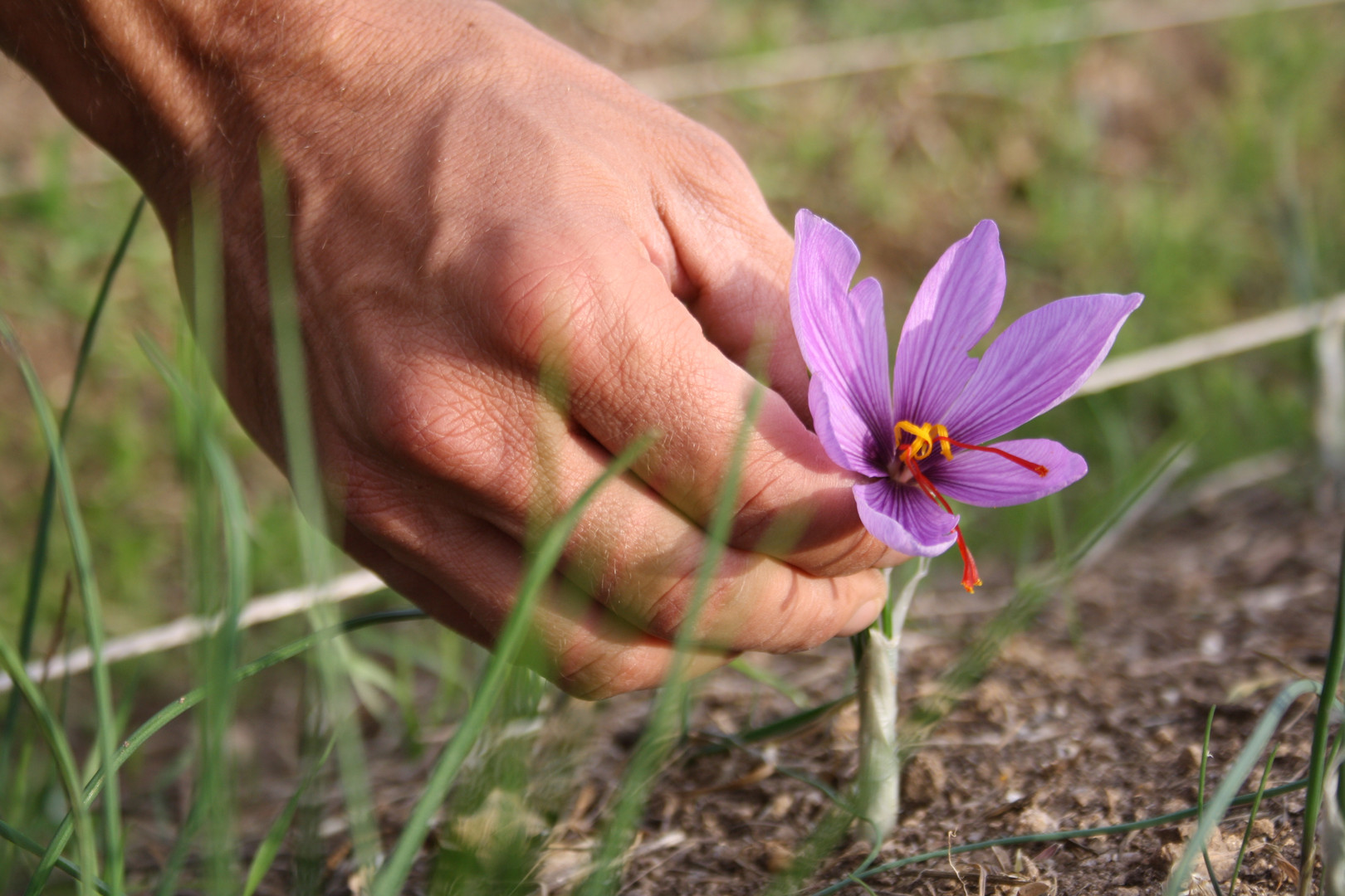 Récolte des fleurs de crocus sativus