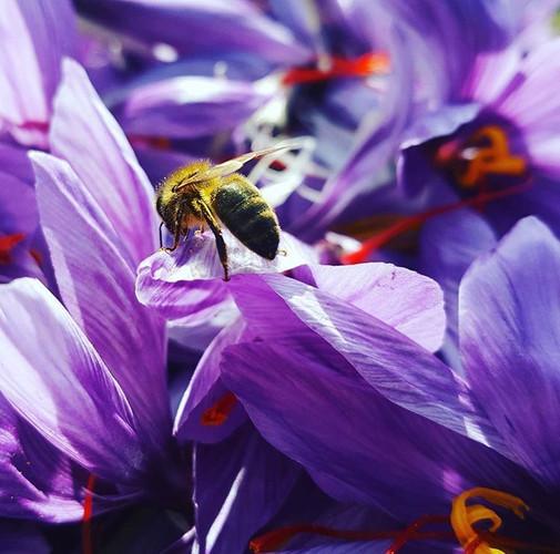 Quand nos abeilles butinent les fleurs de crocus