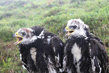 Eaglets.jpg
