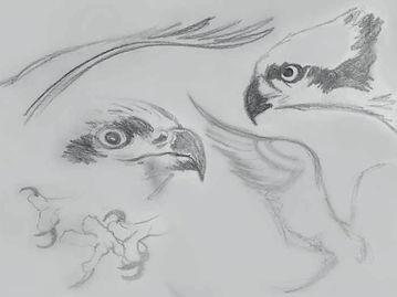 Osprey Drawings.jpg