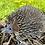 Thumbnail: Hedgehog - Medium