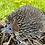 Thumbnail: Large Hedgehog