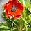 Thumbnail: Poppy Stem