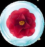 ดอกคามิเลีย.png