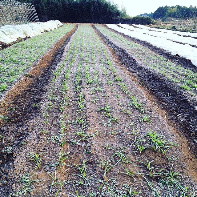 寒さに耐え,しっかり根を張っている小麦。品種は「春よ来い」。全粒粉でパンを作ります。#norakkusu  #grain #wheat #organic