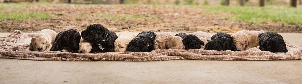 Labradoodle Puppies.jpg