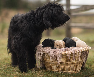 Labradoodle with puppies
