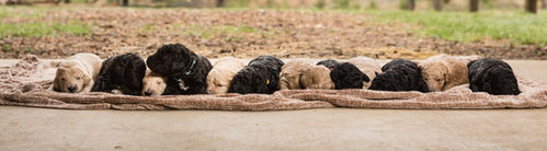 Labradoodle Puppies Resting