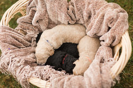 Labradoodle Small Puppies