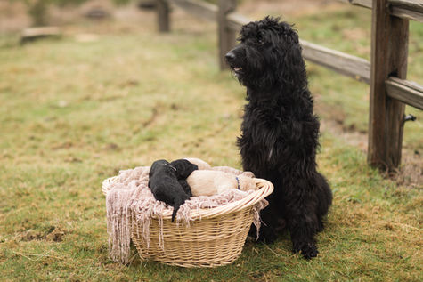 Labradoodle with Her Puppies