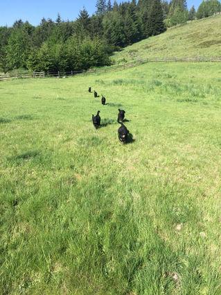 Black Labradoodle Puppies Running
