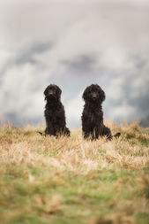 Two labradoodle dogs