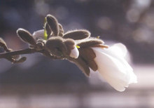Magnolia I