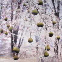 Päronfrost