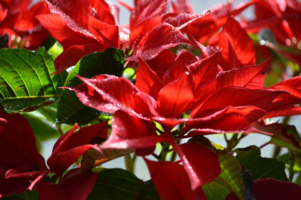 Poinsettia's are alway a holiday must here at the Foundation! #ItsRosasWill