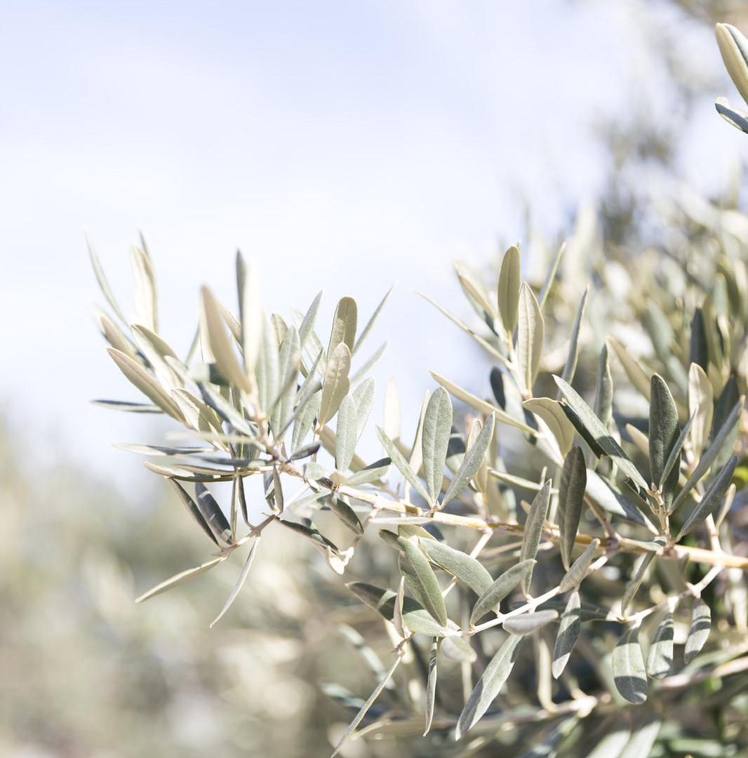 Olive garden Alegria Provence