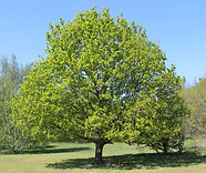 IMG_1251 - Tree cropped.jpg