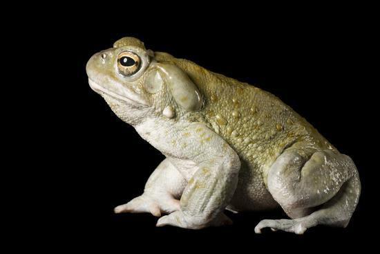 nufo Alvarius 5 meo dmt toad.jpg
