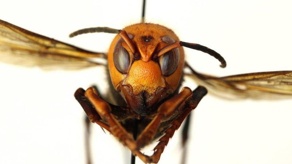 Murder hornet flying.