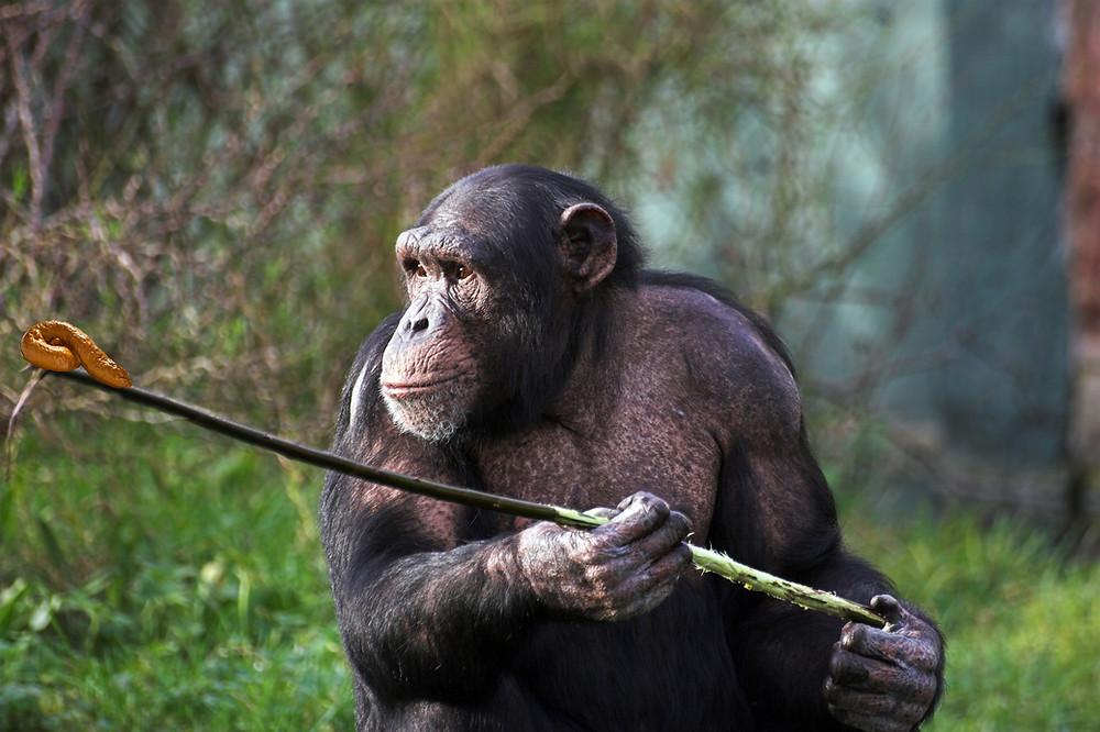 Ape using complex tool.