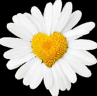 Healing Hearts Daisy