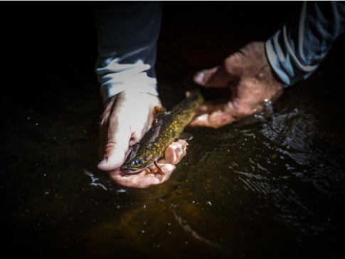 Finding Native Trout Populations in the Adirondacks Through Genetic Research