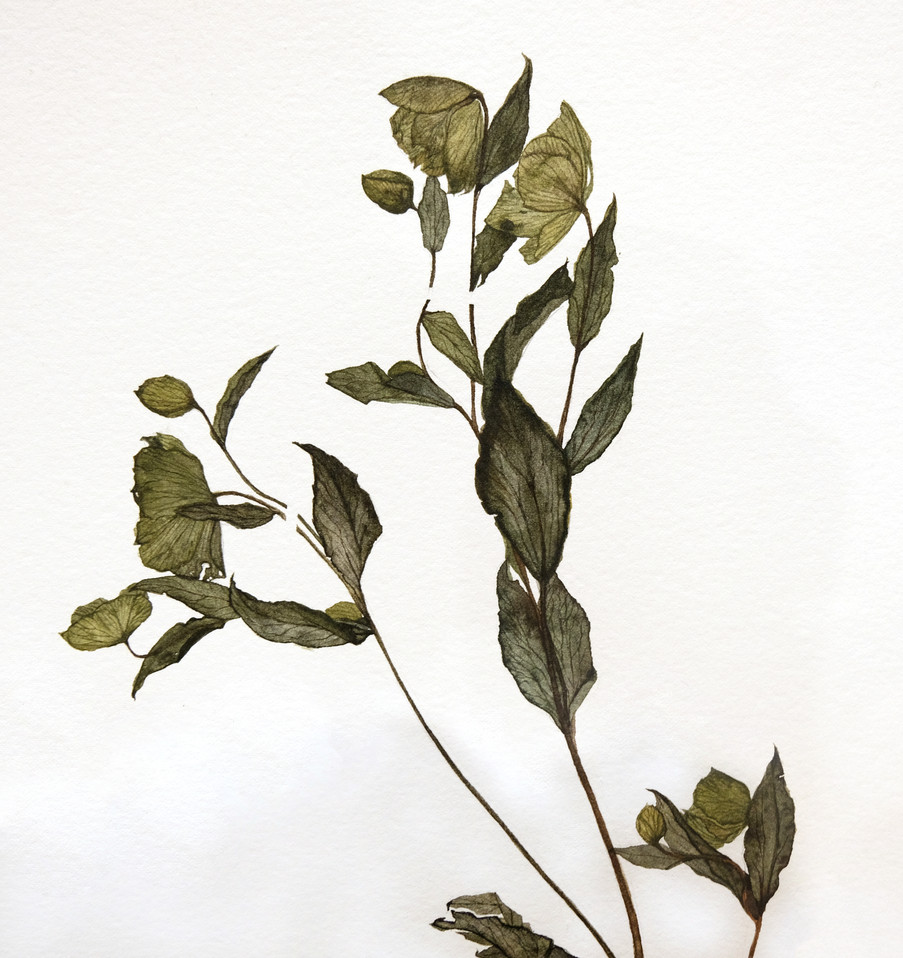 Green Hellebore (2020) Watercolour on paper, 380 x 580mm.